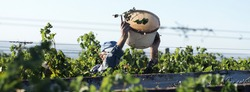 Workers pour blue grapes onto a trailer in a vineyard. Autumn harvesting.