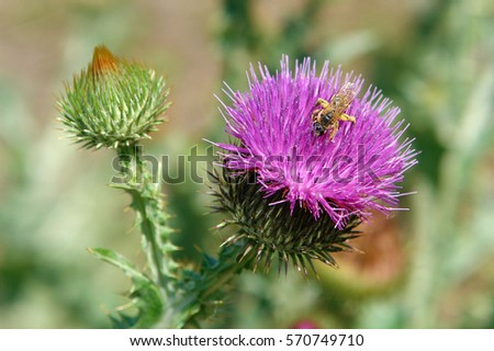 Working bee on a flower of a thistle in the summer #570749710
