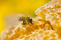 Working bees on honey cells. Close up view of bees on honeycomb