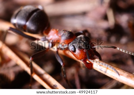 Working big red ant in anthill  Macro with shallow dof.