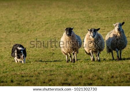 Working border collie sheep dog herding three sheep in a row Stockfoto ©