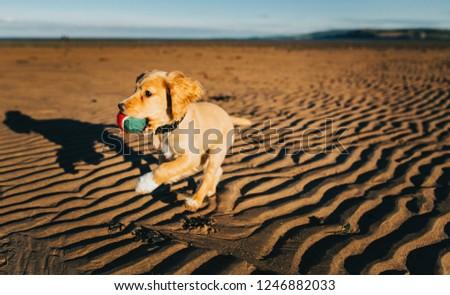 Working Cocker Spaniel Puppy #1246882033