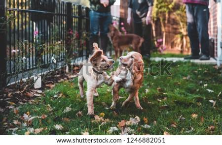 Working Cocker Spaniel Puppy #1246882051