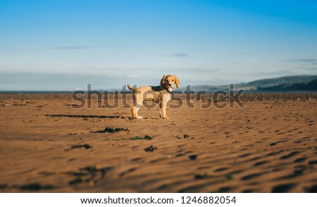 Working Cocker Spaniel Puppy #1246882054