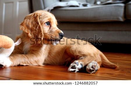 Working Cocker Spaniel Puppy #1246882057