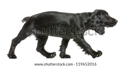 Working Cocker Spaniel walking against white background