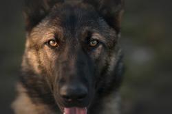 Working dog german shepherd mix in park