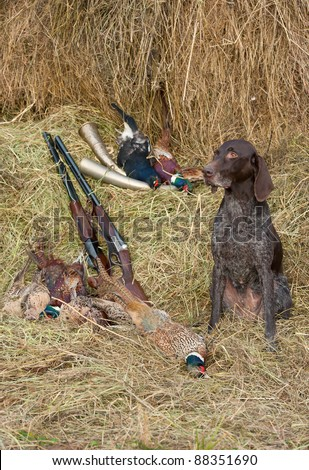 Working dog resting after the hunt beside a shotguns and pheasants in front of a hay, vertical - stock photo