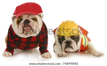 working dogs - two english bulldogs dressed up for work on white background
