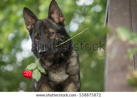 Working German shepherd portrait with flower in mouth Stock photo ©