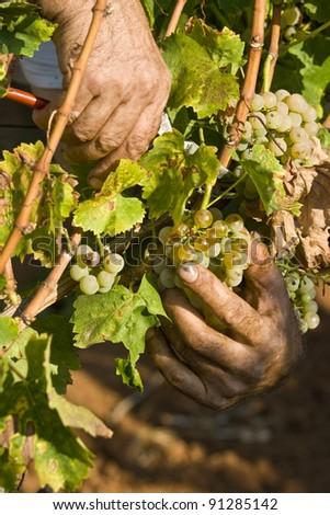 Working hands in the vineyard