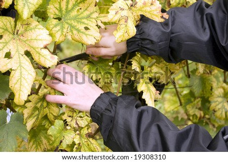 working in vineyard
