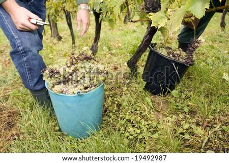 working in vineyards