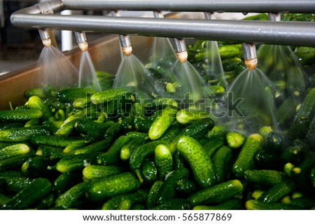 Working process of the production of cucumbers on cannery. Washing in water before preservation. Movement on the conveyor.