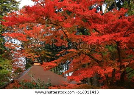World Heritage hiraizumi in chuson-ji Temple autumn #616011413