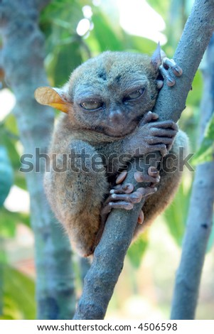 World's smallest cute monkey. The tarsier from from Bohol, Philippines.
