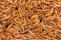 worm Larvae of insects