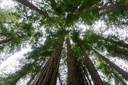 Worm's eye view of tall Redwood tree with branches , leaves and sky background. Perspective bottom view  of big plants in Muir woods National Monument (National park). Forest natural background