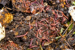 worms create new soil in a compost