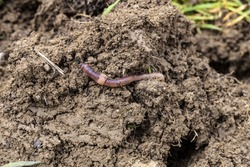 worms in the soil,Worm is moving in the soil,