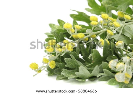 Wormwood Leaves And Flowers