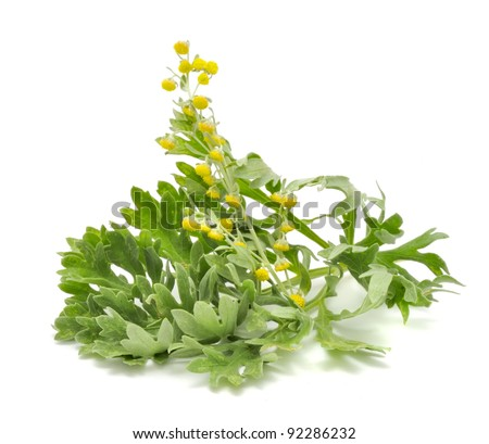 Wormwood with Flowers Isolated on White Background - stock photo