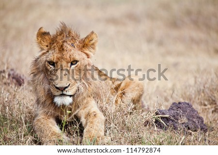 Worn out and Battered, a young male lion seems to have had better days and hard nights. Serengeti National Park, Tanzania. Portrait of a lion. Сток-фото ©