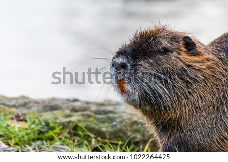 Wounded curious coypu near a water looking around. Visible big orange teeth and blood on a muzzle. Also known as nutria or Myocastor coypus.