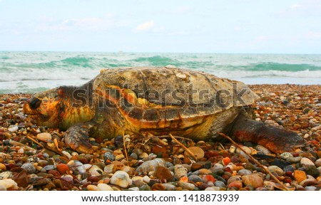 Wounded in the ocean turtle, swam to shore and died on the shore. #1418873939