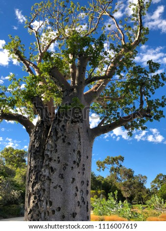 Wounds of big old Baobab, Boab Tree with rough patch from tissue damage at Kings Park, Perth, Western Australia (Adansonia gregorii)