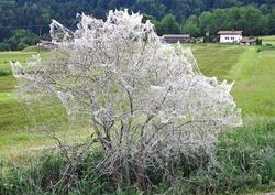 Wrapped bush, ermine moth infestation (Yponomeutidae), Schwaigen, Werdenfels, Upper Bavaria, Bavaria, Germany