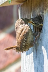 Wren bird feeding its chicks at man-made wooden nest box. Close up of a Wren (Troglodytes troglodytes) bringing insects to young baby birds nesting on a garden wall.