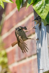 Wren bird feeding its chicks. Garden wildlife and nature image. Adult wren (Troglodytes) bringing food to hungry young baby birds with their beaks wide open at wooden nest box. Survival of the fittest