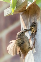 Wren parent bird feeding chicks at nest box. Nature image. Close-up of a Wren Troglodytes flying up to a wooden nesting box to feed invertebrate insects to hungry baby birds. Beautiful garden wildlife