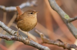 Wren, troglodytes. Very little bird sitting on a branch, characterized by beautiful and loud singing