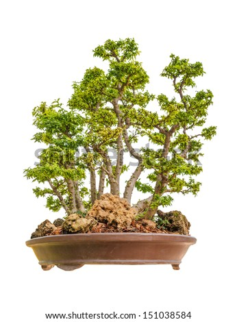 Wrightia religiosa as bonsai tree isolated on white
