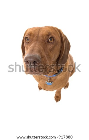 Wrigley, the dog, looking up. - stock photo
