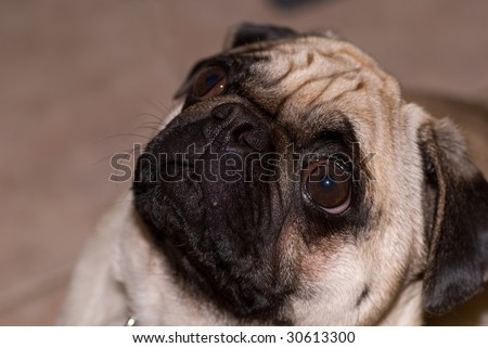 Wrinkled dog with eyes open looking up