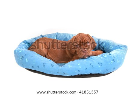 Wrinkled Dogue De Bordeaux puppy in a cot/ bed, isolated