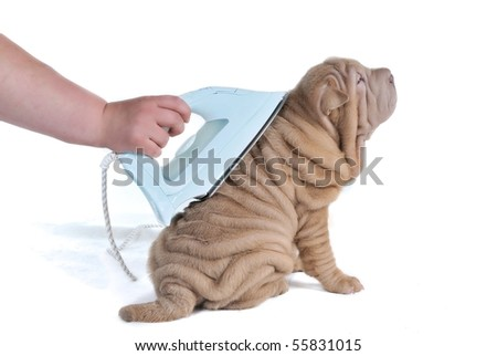 Wrinkled Shar-Pei Puppy Being Ironed, isolated on white background