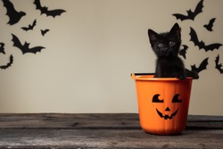 Writeable Halloween consept. Adorable black kitten sitting in halloween trick or treat bucket looking into the camera on palomino background with black bats.