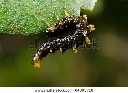 writhing caterpillar, leaf