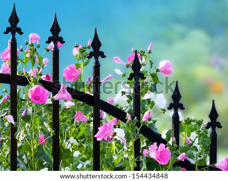 Wrought iron fence with annual mallow flowers. Clipping path included.