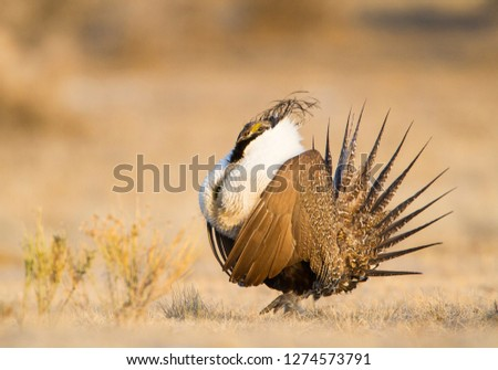 Wyoming, Sublette County, Greater Sage Grouse displaying on leg #1274573791