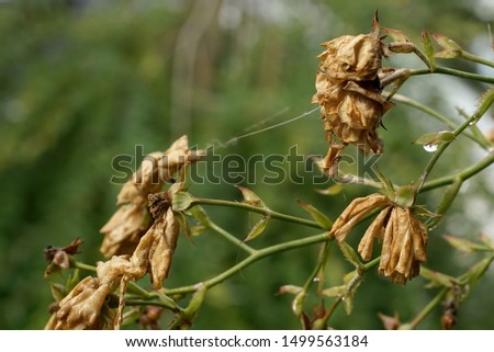 wyschnięte kwiaty róże w słoneczny dzień w ogrodzie Zdjęcia stock ©