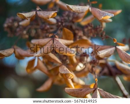 Wysuszone kwiaty hortensji w słoneczny listopadowy dzień Zdjęcia stock ©