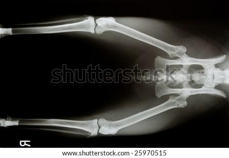 x-ray of a cat's pelvis