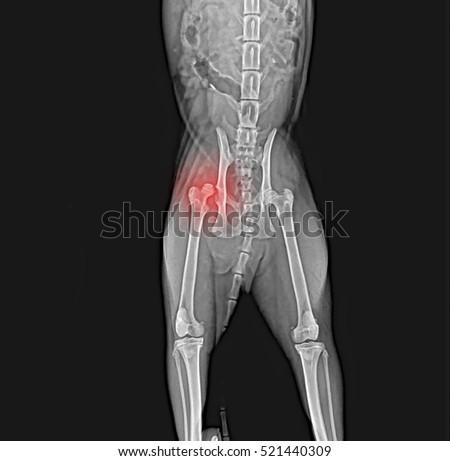X-ray of dog pelvis. Dislocation head femur thigh bone   EZ Canvas