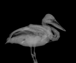 X-ray of wild duck rescued after entanglement