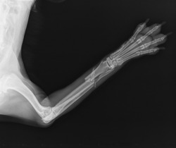 X ray. Radius and Ulna fracture in a Dog. Radiography